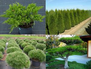 Использование хвойных растений