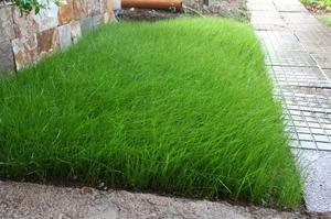 Газонные травы, которые не подходят климатическим условиям Россиии
