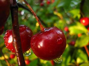 Посадка вишни на даче