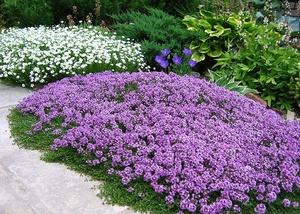 Бордюрные цветы и растения многолетники: фото в каталоге и 79
