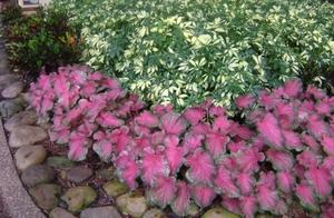 Многолетние стелющиеся цветы цветущие все лето фото и название