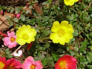 Цветы портулак - украшение любой клумбы