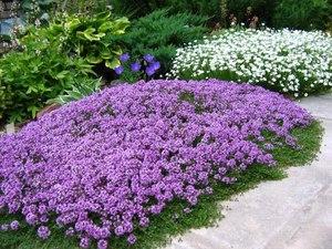 Цветы для клумбы низкорослые купить где купить искуственные въющиеся цветы в голандии