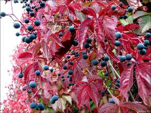 Девичий виноград фото