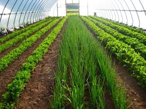 Выращивание лука на зелень в теплице 64