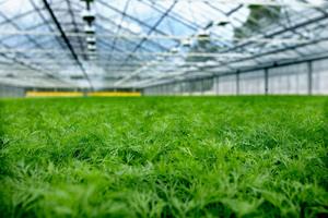 Какую зелень вырастить в теплице