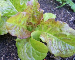 Выращивание разной зелени в парнике