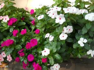 Цветы на городских клумбах фото и названия