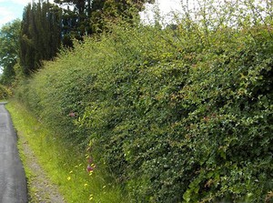 Колючие кустарники для живой изгороди