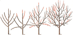 Как омолодить дерево