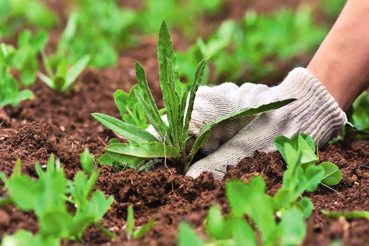 Сорняки на огороде: виды, названия и фото