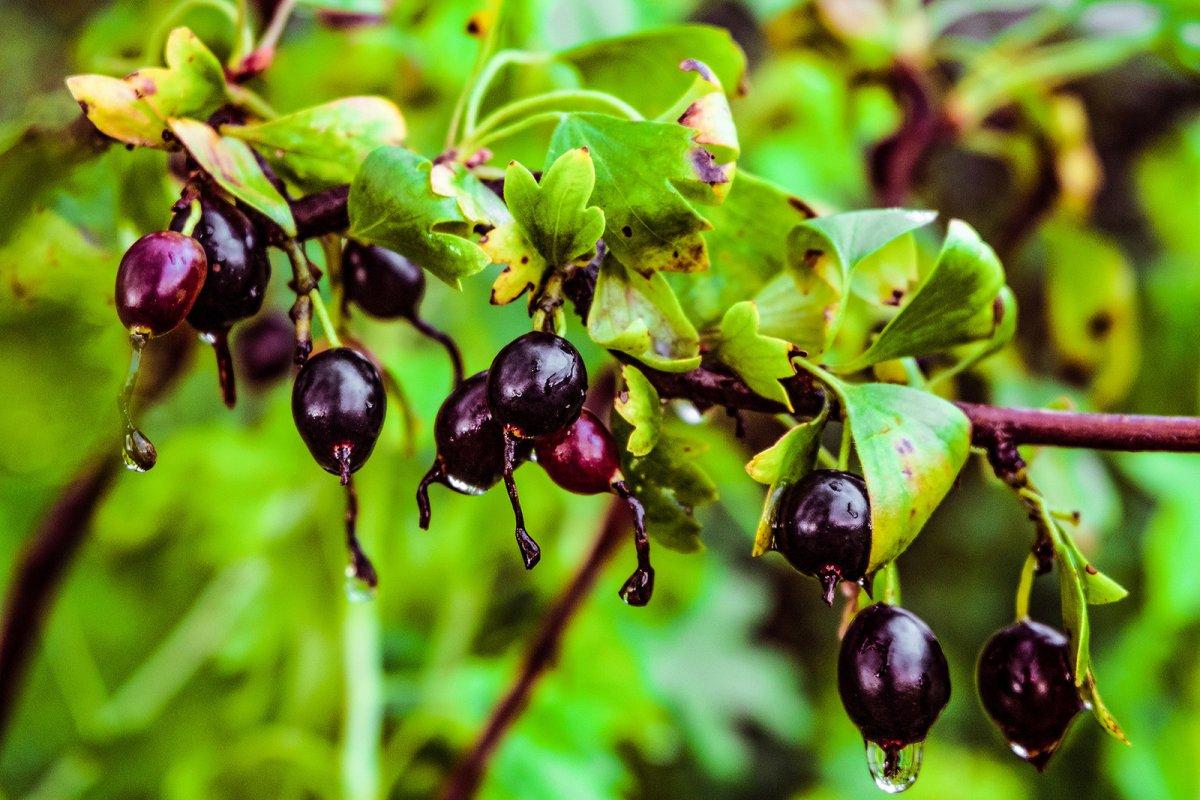 Выращиваем здоровую смородину: обработка посадок от болезней и вредителей
