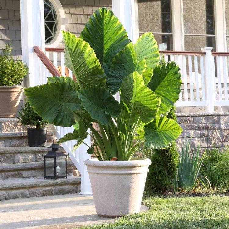 Алоказия: виды, уход и размножение цветка в домашних условиях