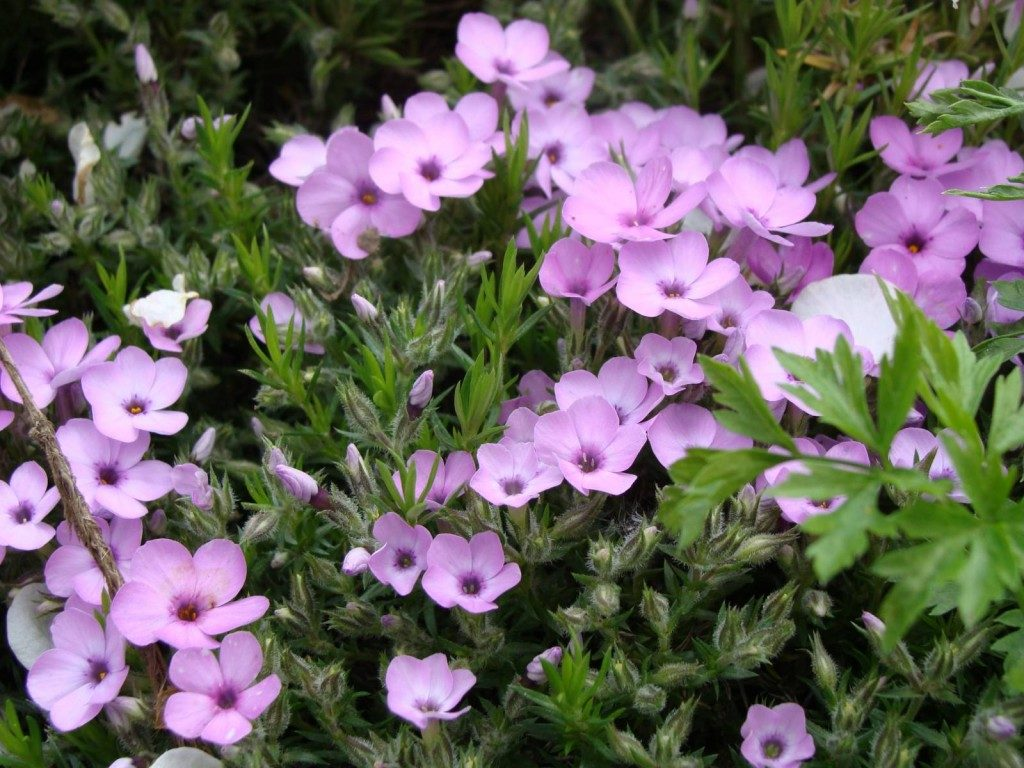 Цветы для дачи, цветущие всё лето