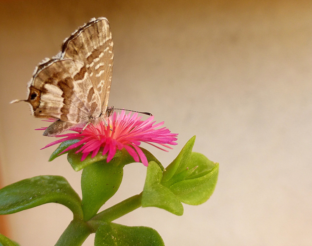 Аптения: посадка, уход и размножение растения в домашних условиях