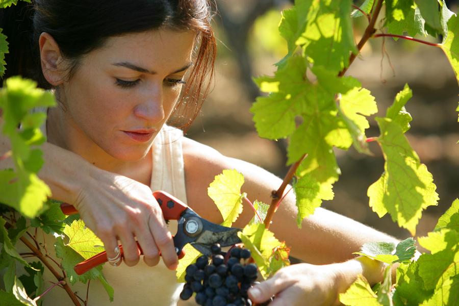 Почему ягоды на винограде не успевают спеть и сохнут