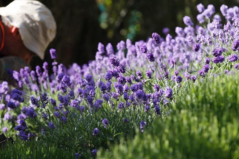 7 трав, которыми можно не только украсить сад, но и использовать для готовки