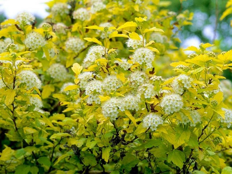 10 кустарников с золотыми и серебристыми листьями для аристократичного сада