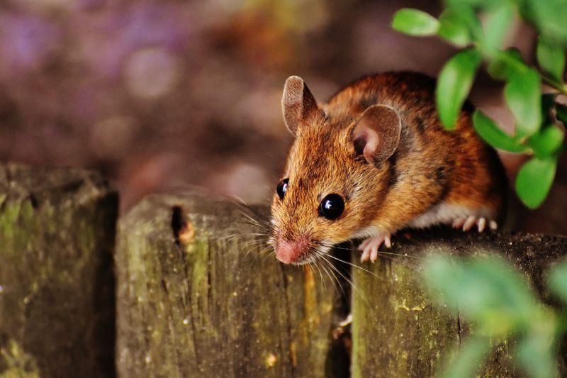 Как защитить дом от мышей надежно