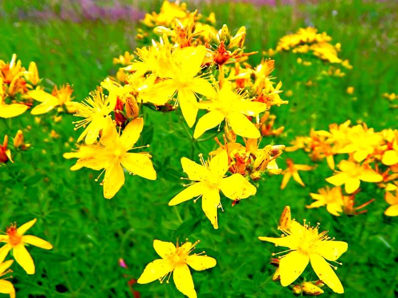 5 растений с дачи, которые эффективно устранят депрессию