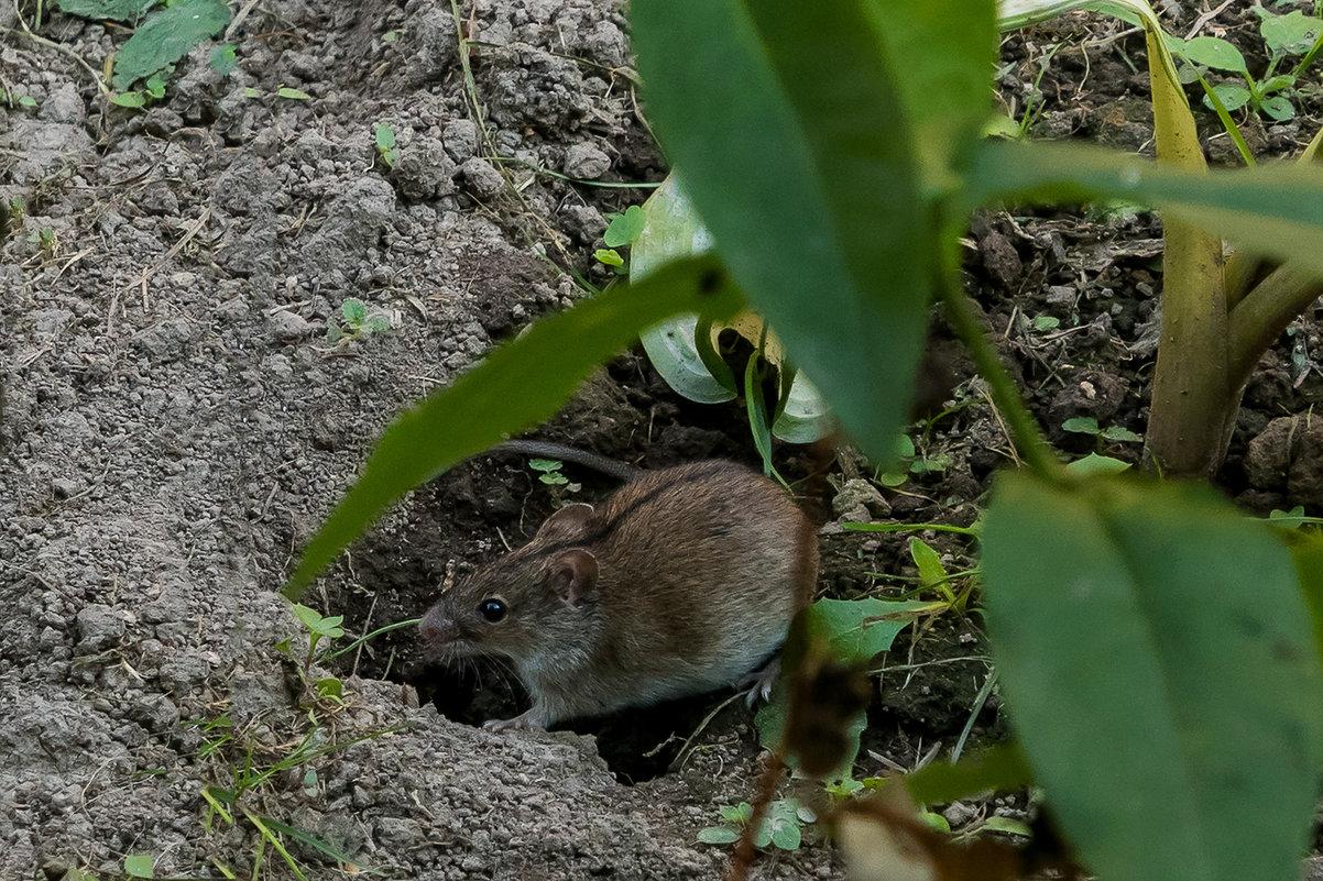 8 растений, которые эффективно прогонят мышей с вашего участка