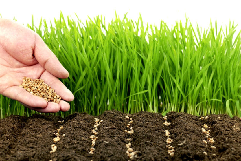6 лучших сидератов для посева осенью в теплице