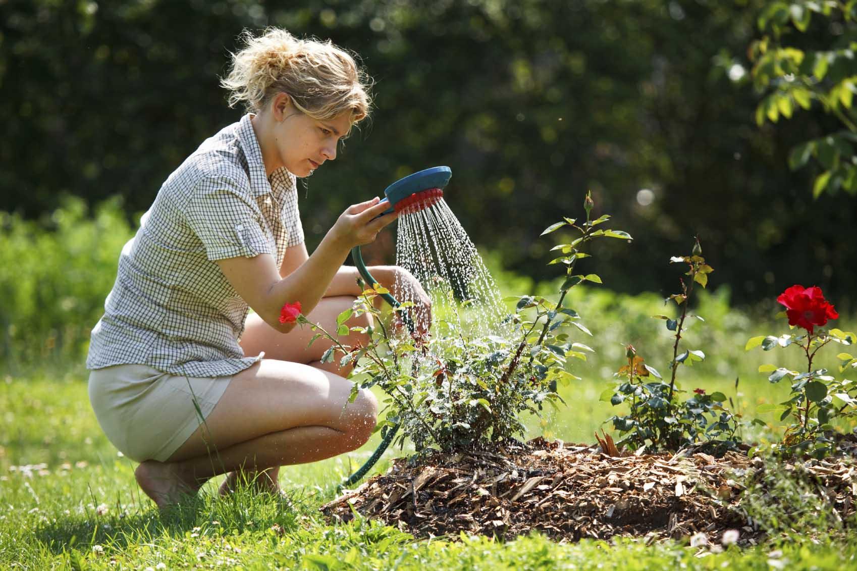Натуральная подкормка роз осенью: 5 подручных средств