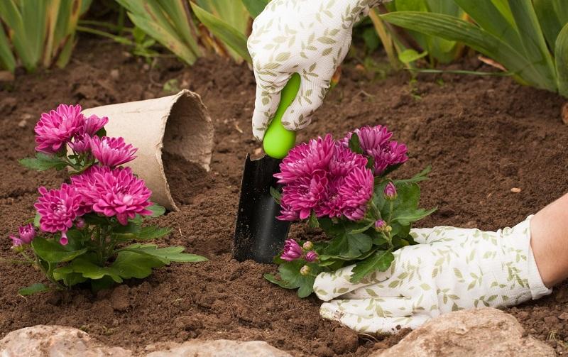 Как ухаживать за хризантемами осенью, чтобы они цвели максимально долго