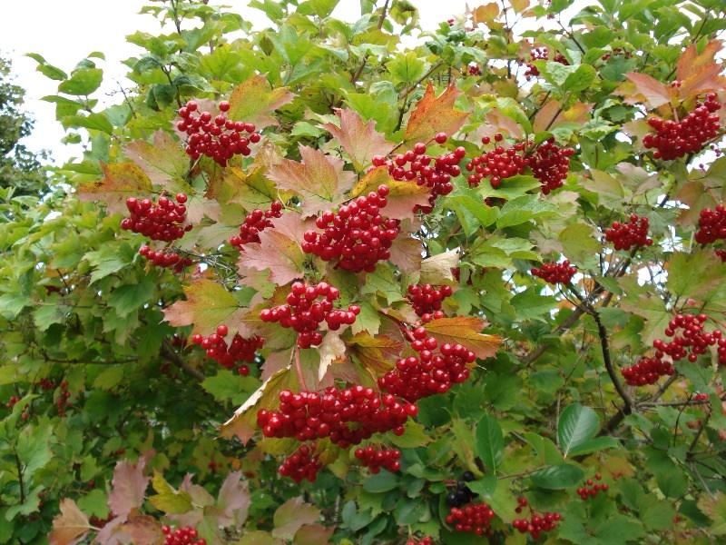 Надо ли сажать калину в саду: 5 преимуществ и 2 недостатка