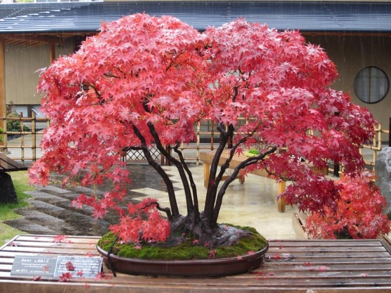 Дланевидный клён бонсай с красными листьями
