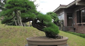 Красивый бонсай в саду