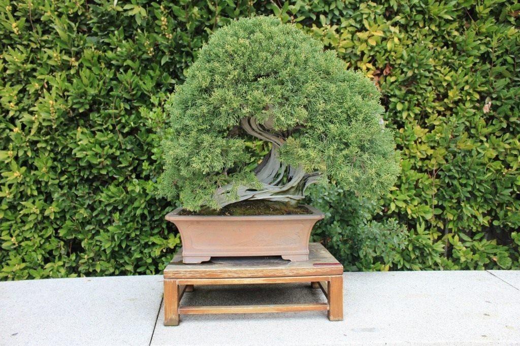 Маленький бонсай в саду на террасе