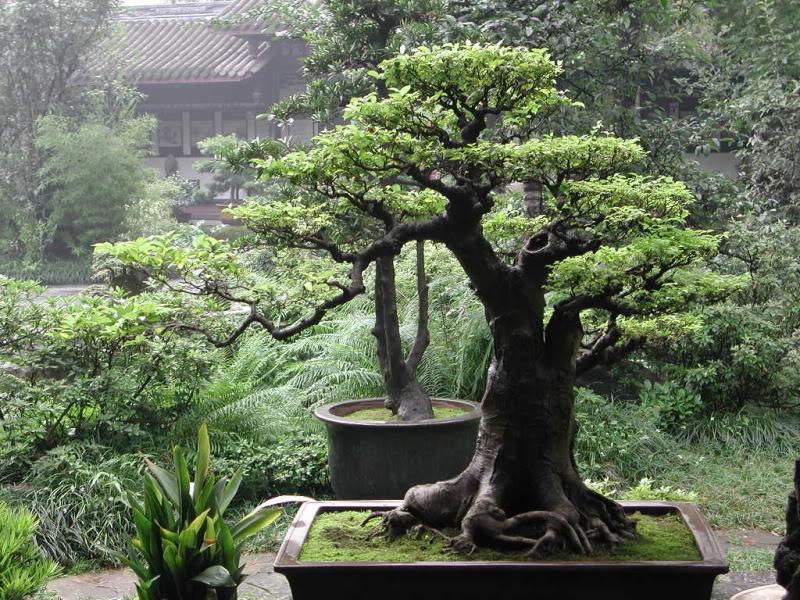 Крупный бонсай в саду