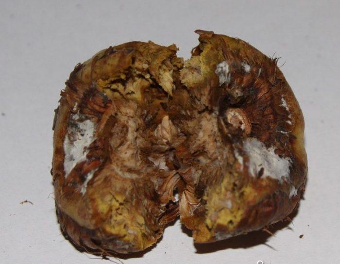Ботритиоз гладиолусов