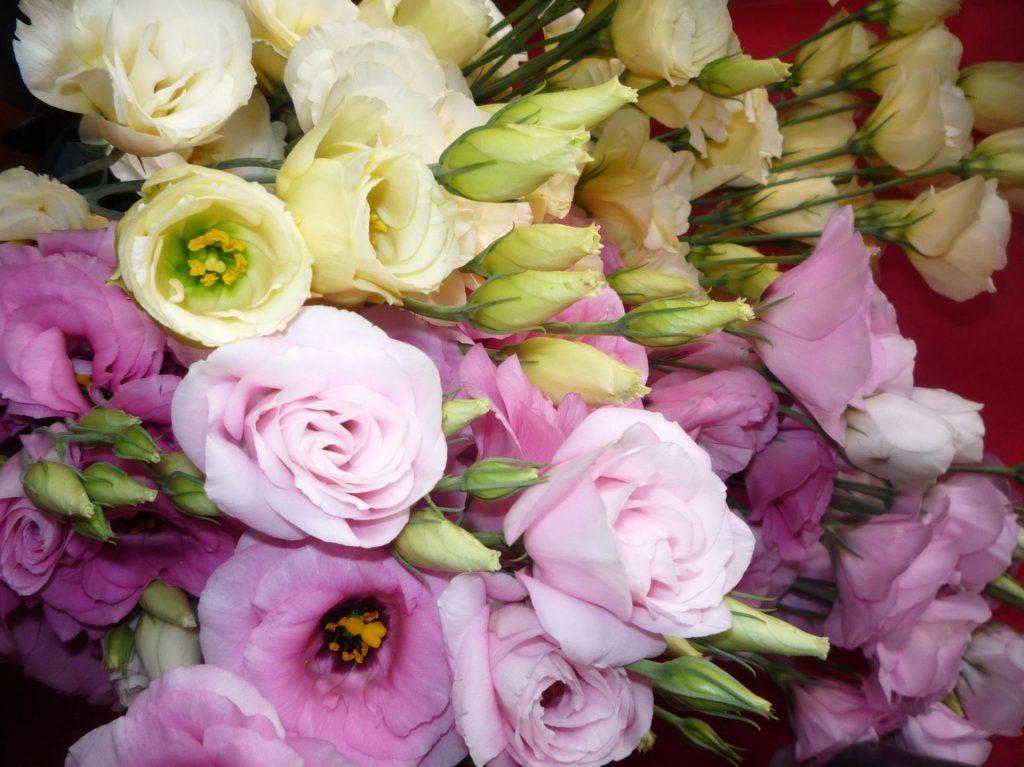 Цветущие эустомы разных сортов