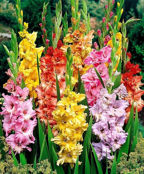 Цветущие гладиолусы