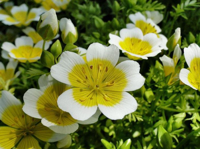 Цветы лимнантеса