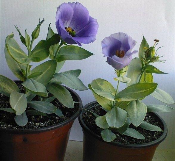 Можно ли эустому выращивать как многолетнее растение?