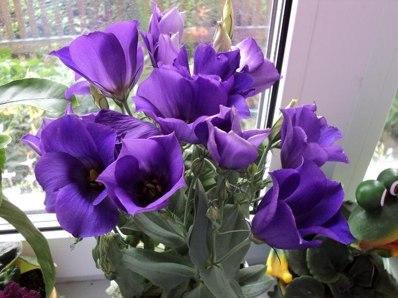 Фиолетовая эустома на подоконнике