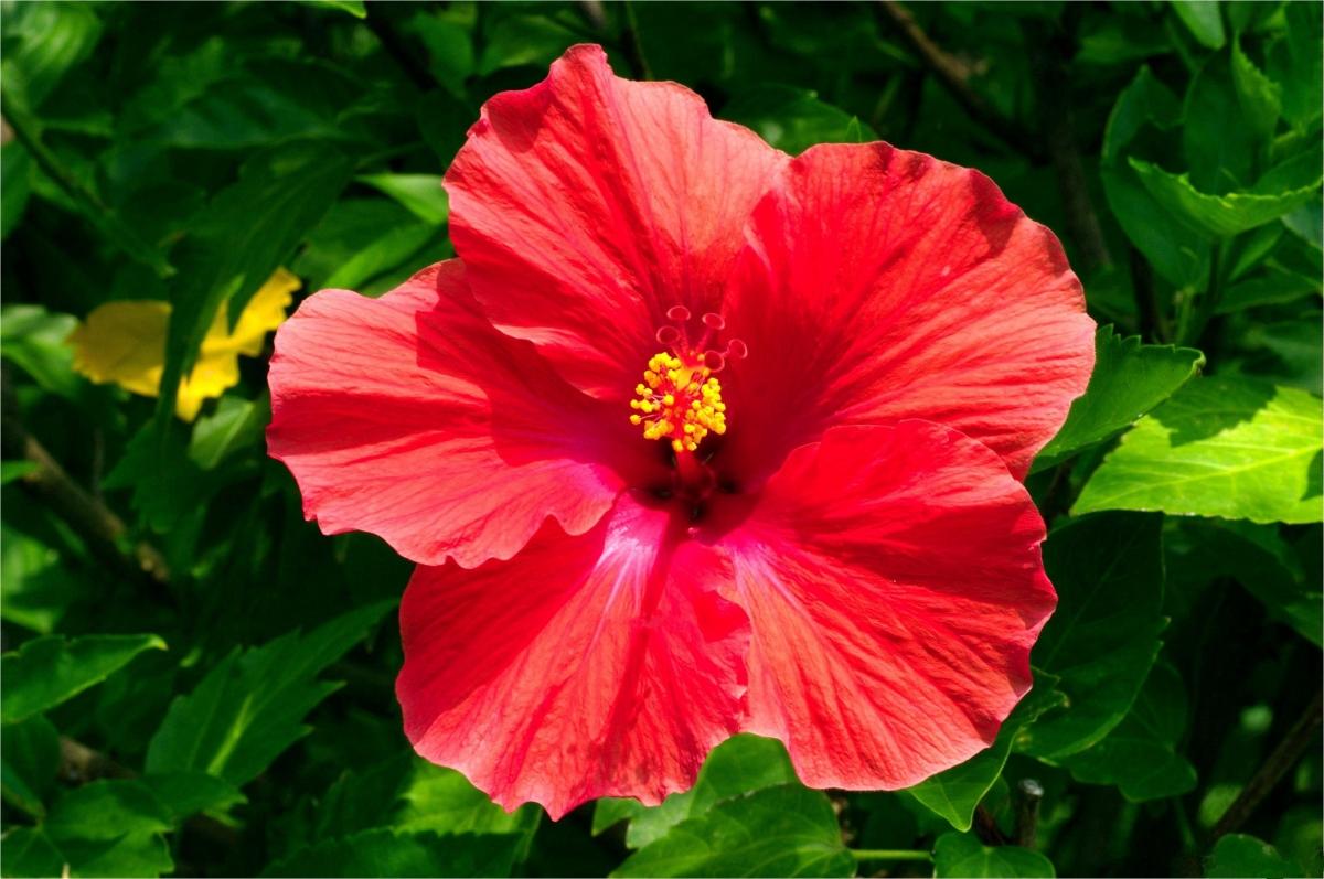 Гибискус – китайская роза в вашем доме: приметы, посадка и уход