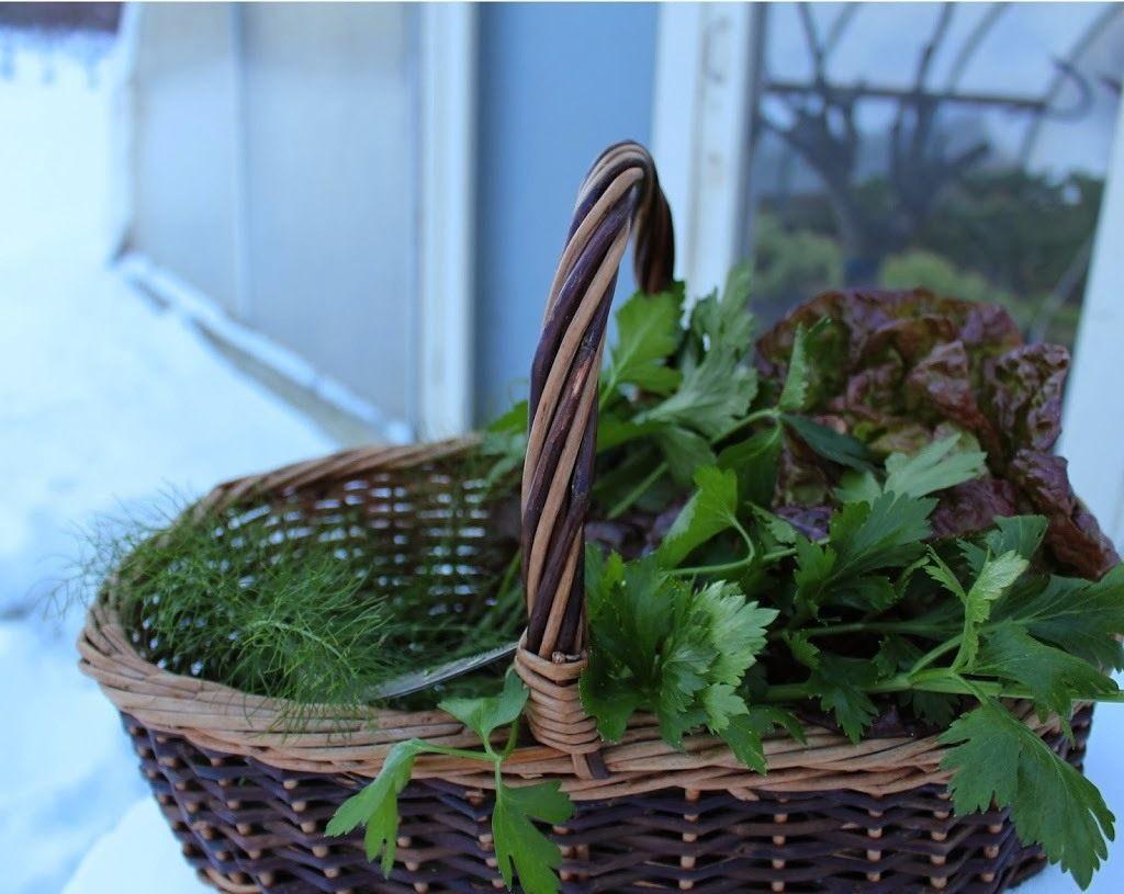Посадка петрушки и укропа осенью под зиму семенами: сроки, сорта, особенности