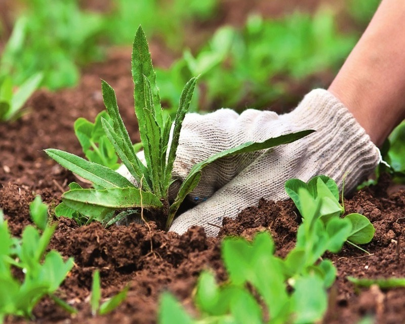 Как зеленка и нашатырный спирт могут пригодится дачным растениям