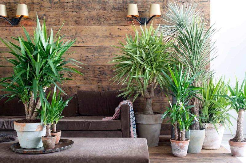 5 правил обращения с пальмой, чтобы она помогала вашему дому, а не вредила