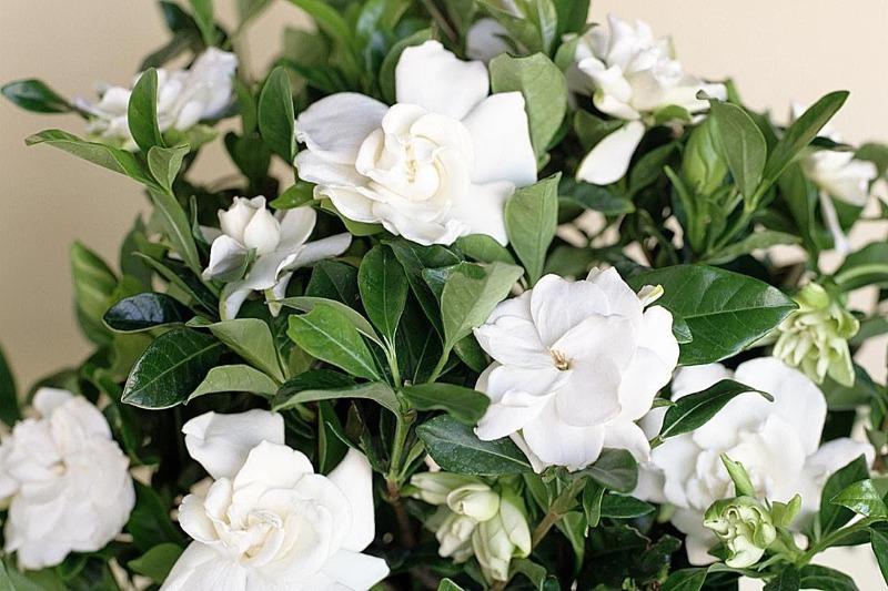 5 ослепительно-белых цветов, которые создадут ощущение снега на подоконнике