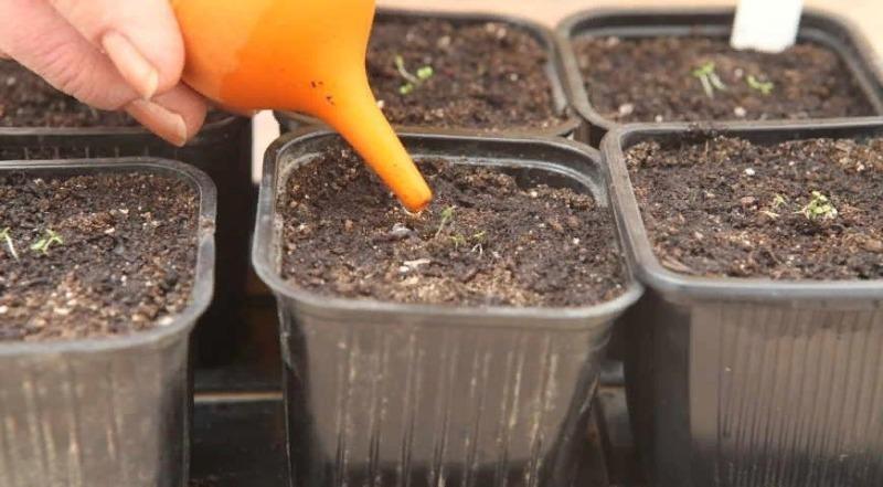 6 причин поливать рассаду маленькой спринцовкой