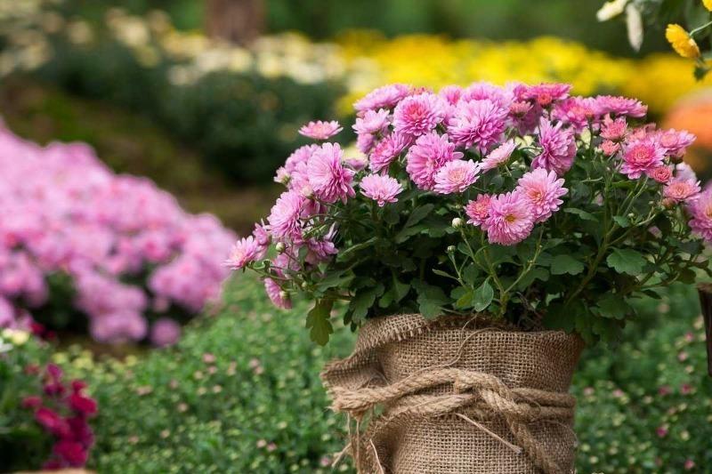 Как правильно подготовить хризантемы к лютым морозам