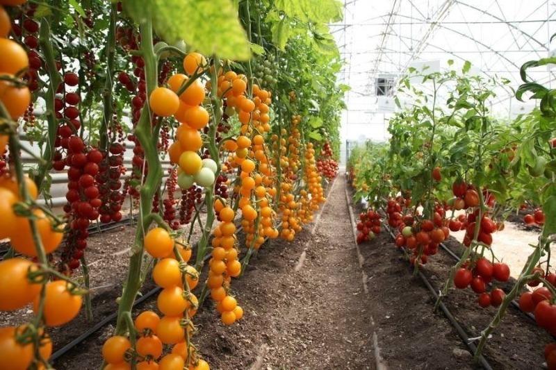 5 распространенных дачных мифов о томатах, которые стоит разрушить