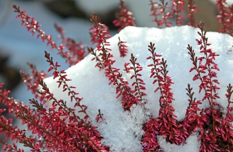 5 мифов о зимнем укрытии растений, вера в которые могут им навредить