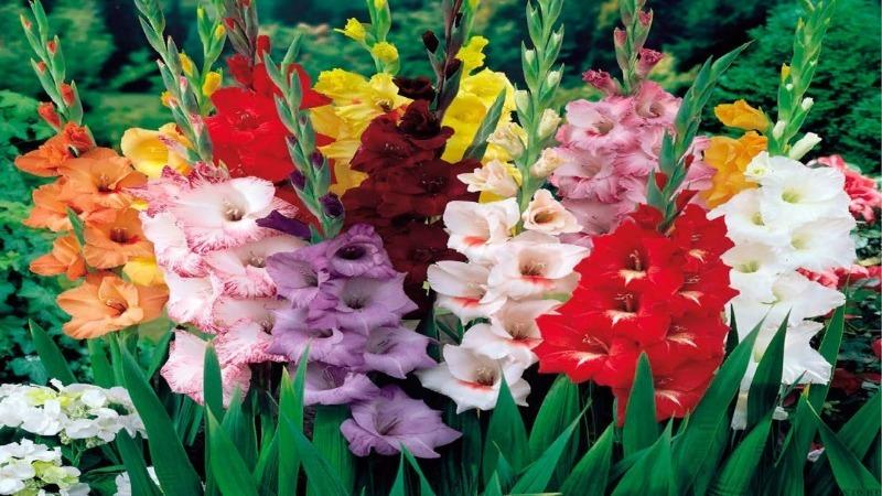4 правила, которые важно соблюдать, чтобы сохранить гладиолусы до весны
