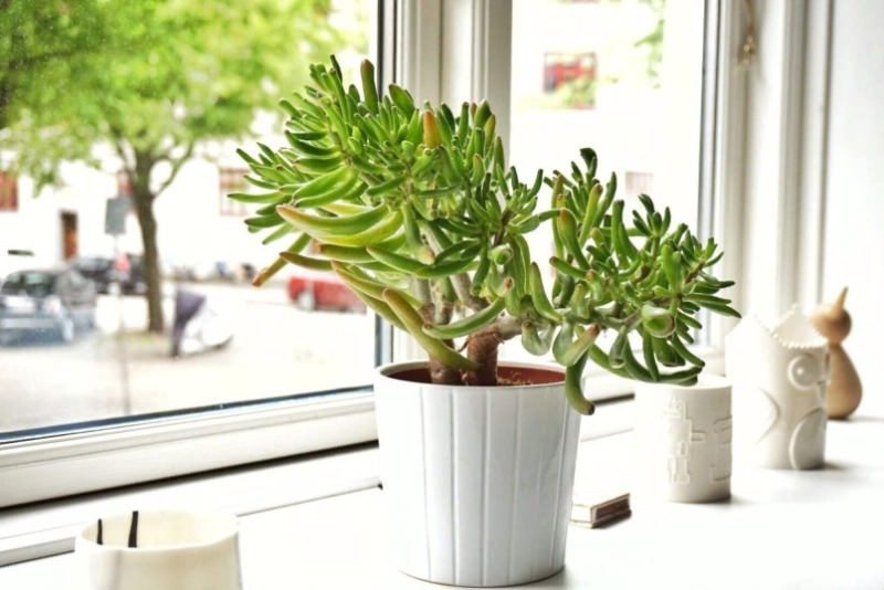 6 комнатных растений, которые не страшно отнести в офис: выживут